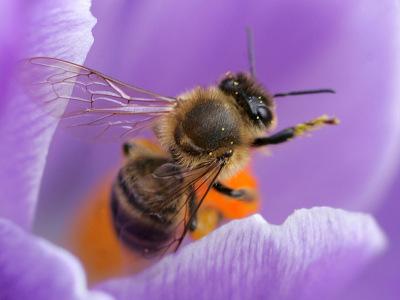 Pestizide schädigen das Gedächtnis von Bienen