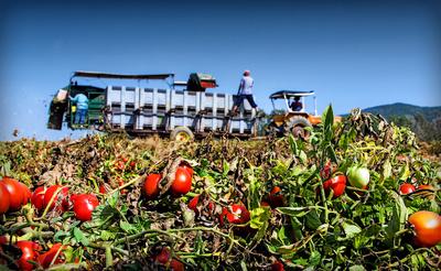 Sommer, Sonne und Tomaten